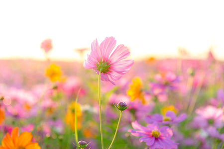 Beautiful cosmos flower in there meadow on sunset background. Banco de Imagens - 120819671