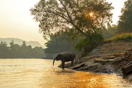 Asian wild elephant walking in the natural river at deep forest at Kanchanburi province in Thailand