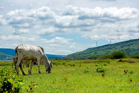 White cows on green alpine meadow.  Mountains with wind turbine on background. Cows in pasture. Banco de Imagens