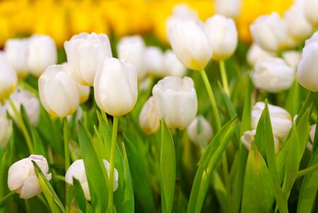 White and Yellow Tulip Flower in the garden. Beautiful bouquet of tulips. colorful tulips. tulips in spring at Nature background Banco de Imagens