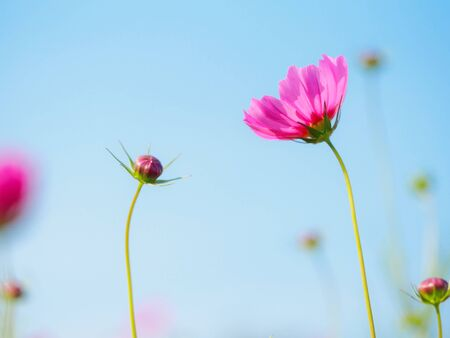 Flowers Cosmos in the meadow, blue sky background. soft and select focus 写真素材