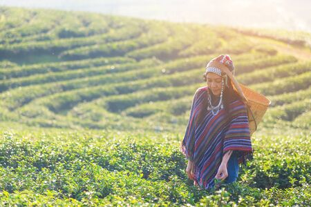 Asia worker farmer women were picking tea leaves for traditions in the sunrise and sunny morning at tea plantation nature ourdoor, Thailand.  Lifestyle Concept