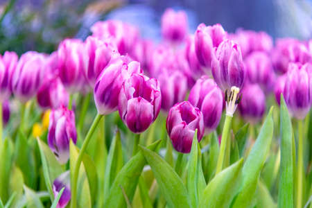 Purple Tulip Flower in the garden. Beautiful bouquet of tulips. colorful tulips. tulips in spring at Nature background