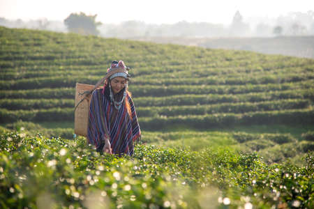 Asia worker farmer women were picking tea leaves for traditions in the sunrise morning at tea plantation nature. Lifestyle Concept