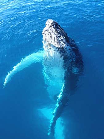 Portret van een majestueuze bultrug walvissen in Australië