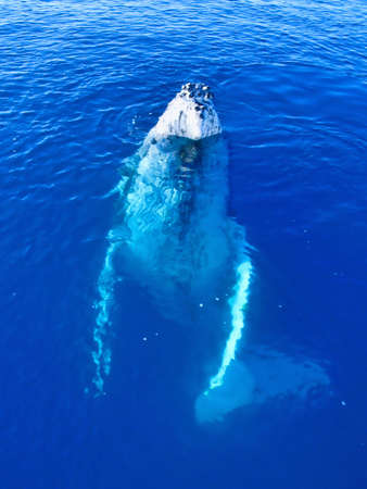 Majestic Humpback Whale up close and personal in australia  photo