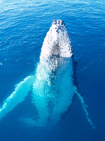 migrate: Marine Mammal - Humpback whale in the deep blue ocean