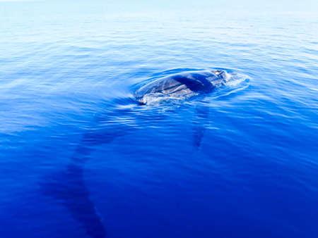 humpback whale: Submerged humpback whale in the deep blue ocean in australia