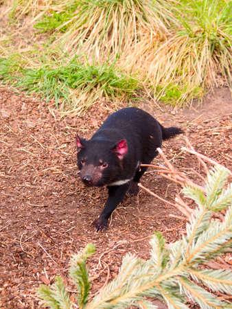 tasmanian: Fauna - A fierce Tasmanian Devil running in the  bush Stock Photo