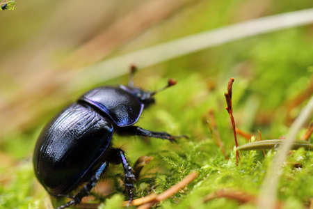 Closeup of a dung beetle