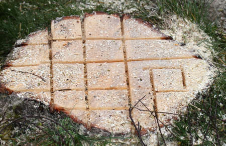 Stump cut with chainsaw left to rot