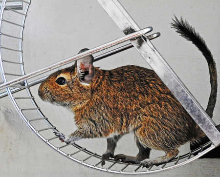 Isolated degu pets sitting in metal wheel