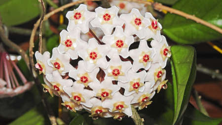 cluster house: Indoor flower Hoya or wax ivy. Isoleted flower photo.