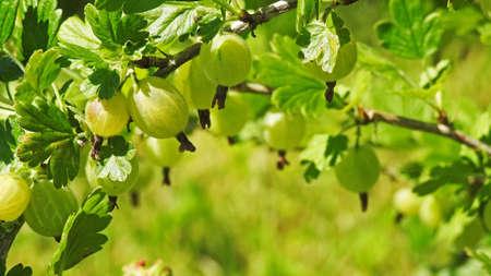 grosella: Grosella espinosa verde. La primera grosella espinosa en este verano.