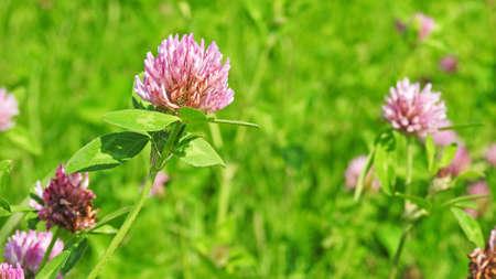 day flowering: Flowering clover on blue sky. Summer sunny day.
