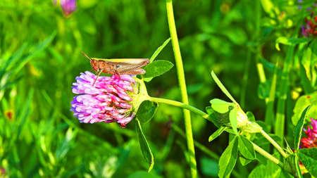 Green grasshopper sitting on flowering clover on sunny summer day.