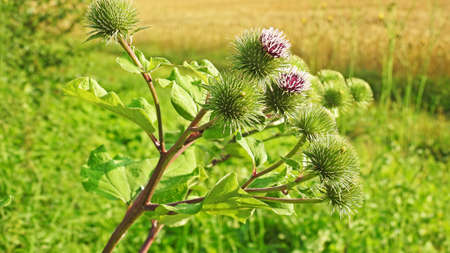 prickles: Blossoming beautiful flower with flowering burdock prickles