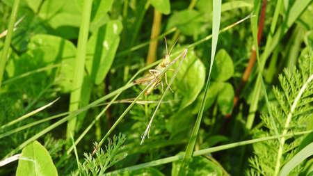 day flowering: Green grasshopper sitting on flowering clover on sunny summer day.