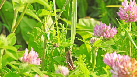 fruition: Green grasshopper sitting on flowering clover on sunny summer day.