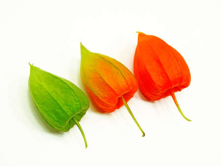 concord grape: Three colorful physalis flowers showing three stages of physalis flower ripening on white background Stock Photo