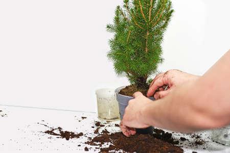 turba: El proceso de trasplantar pequeño árbol de navidad. Aislado en el fondo blanco.