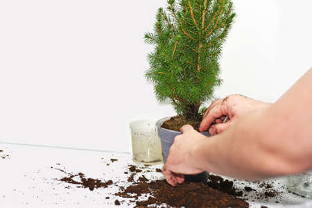 The process of transplanting small christmas tree. Isolated on white background.