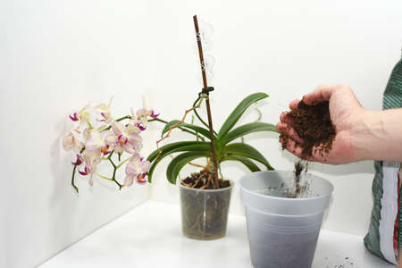 The process of transplanting small orchid. Isolated on white background.