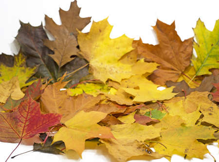 Maple and oak leaves on white background. Abstract background Stock Photo