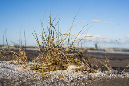Winter grass near sea. Yellow grass in sand with snow. Stock Photo