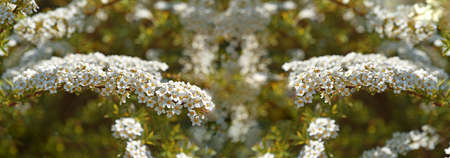 Small white flowers on bush. Spring abstract photo.