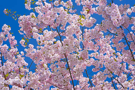 Sakura branch against the blue sky. Spring abstraction. Stock Photo