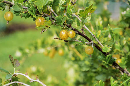 Branch of gooseberry with green berries and leaves in the garden.. Stock Photo