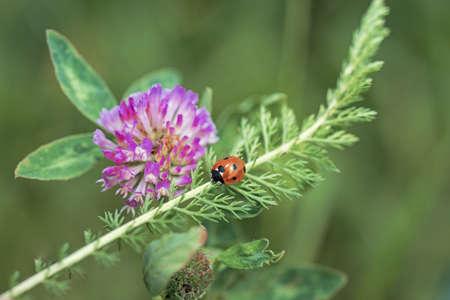 Ladybug on pink clover.