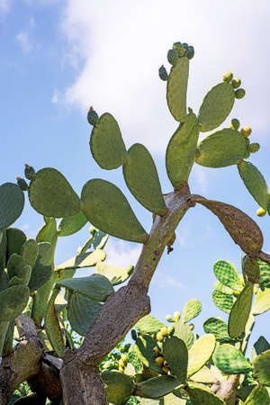 Fresh cactus close-up. Green vegetative cactus with spines on blue sky
