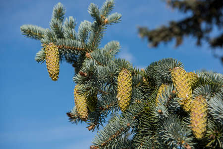 Fir-tree branches with cones on blue sky background.