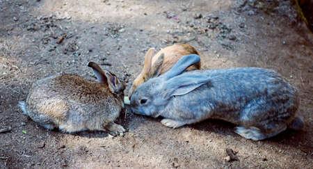 Young wild rabbit feeding on cut grass.
