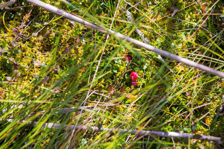 Red cranberry growing in green swamp.