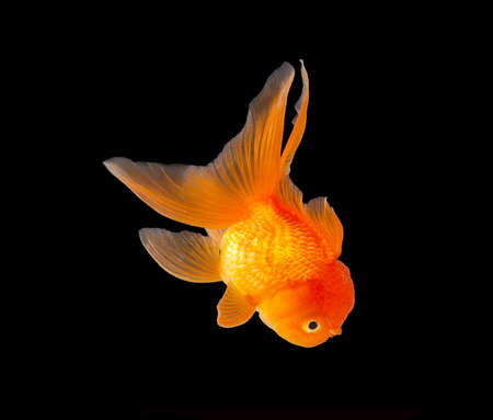 Gold fish isolated on black background Stock Photo