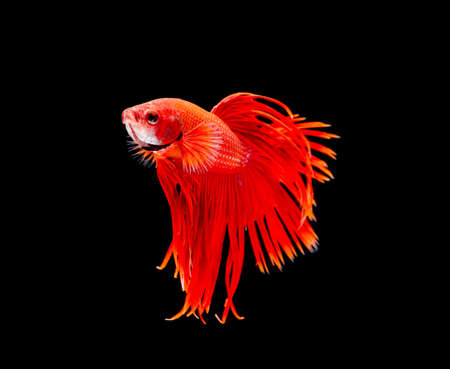 fish tail: Betta fish, siamese fighting fish, betta splendens isolated on black background Stock Photo