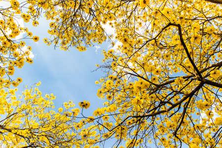 blossoming yellow flower tree: yellow flowers bloom Stock Photo