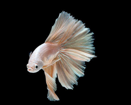 Betta fish, siamese fighting fish, betta splendens isolated on black background Stock Photo