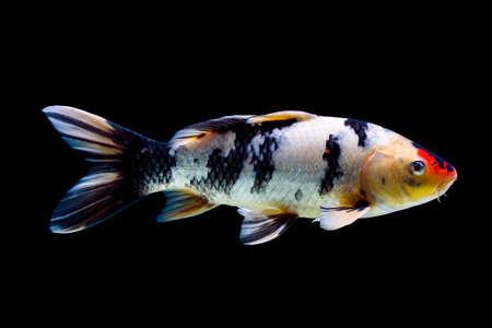 Koi vis geïsoleerd op zwarte achtergrond