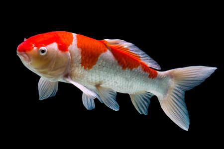 黒の背景に分離された鯉魚 写真素材