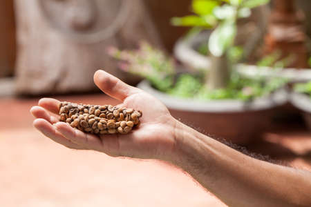 Kopi luwak or civet coffee, Coffee beans excreted by the civet on hand.