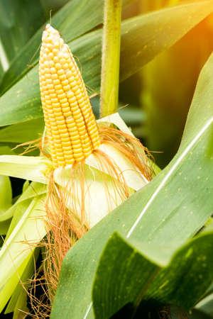 gele maïskolf van zoete maïs op het veld. Verzamel maïsoogst.