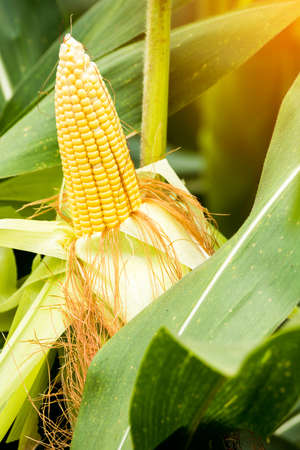 yellow cob of sweet corn on the field. Collect corn crop. Stock fotó