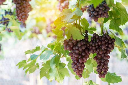 vine grapes at harvest