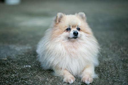 Closeup of Pomeranian