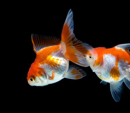 Gold fish isolated on black background Stock Photo