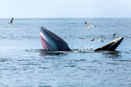 Brydes whale, Edens whale, Eating fish at gulf of Thailand. Stock Photo